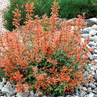 Agastache Kudos Mandarin Plants