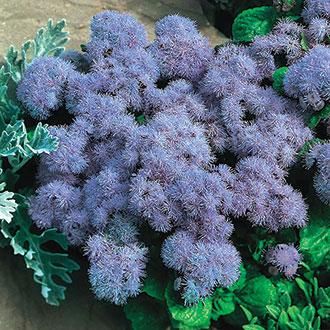 Ageratum Champion Blue F1 Plants