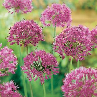 Allium Purple Sensation Bulbs