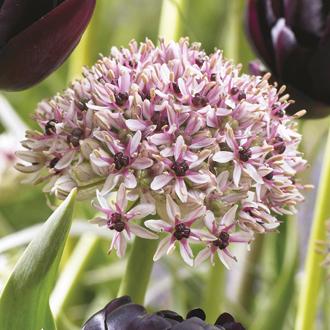 Allium Red Eye Bulbs
