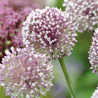 Allium Summer Drummer Bulbs
