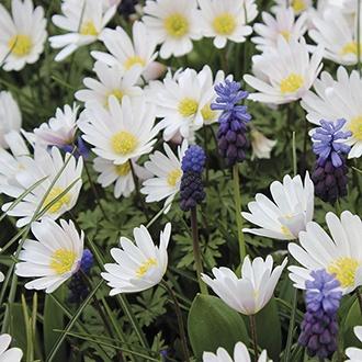 Anemone White Splendour Bulbs