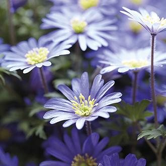 Anemone blanda Blue Shades Bulbs