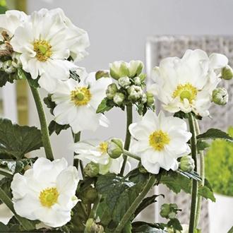 Anemone Andrea Atkinson plants