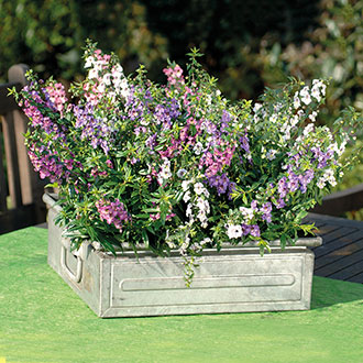 Angelonia Serena Mixed plants