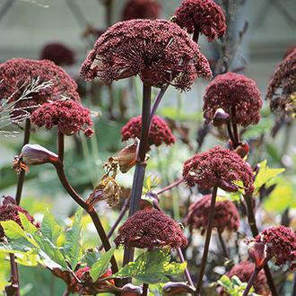 Angelica gigas Plants