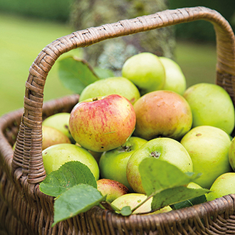 Apple Bramley's Original fruit tree