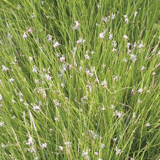 Eleocharis acicularis 1ltr Oxygenating Pond Plant