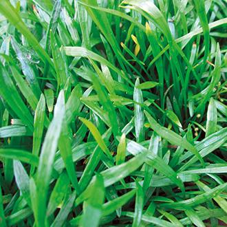 Lilaeopsis brasilensis 1ltr Oxygenating Pond Plant