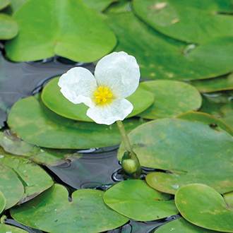 Hydrocharis morsus ranae Floating Pond Plant