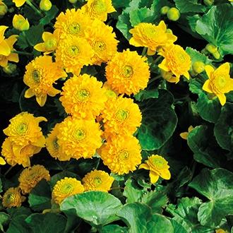 Caltha palustris Plena 1ltr Mariginal Pond Plant