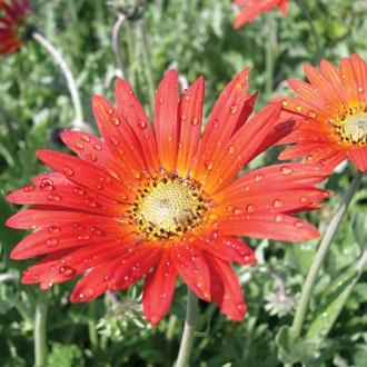 Arctotis Flame Flower Plants