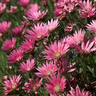 Arctotis Wine Flower Plants