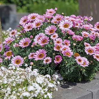 Argyranthemum Grandaisy Flower Plant Collection