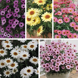 Argyranthemum Grandaisy Plant Collection