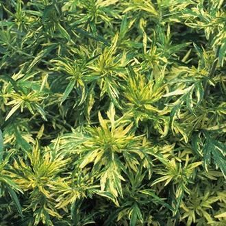Artemesia Oriental Limelight Plants