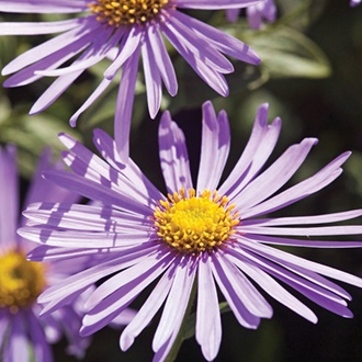 Aster x frikartii Monch Plants