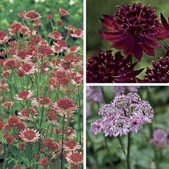 Astrantia Plant Collection