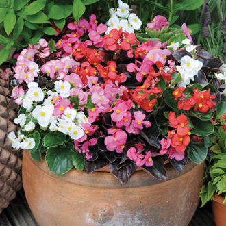 Begonia Devil's Delight Mixed F1 Flower Plants