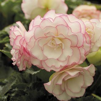 Begonia Picotee Pink Halo Flower Bulbs