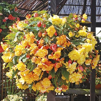 Begonia Illumination Apricot Shades F1 & Baskets