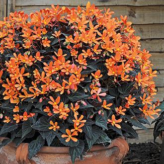 Begonia Glowing Embers Plants