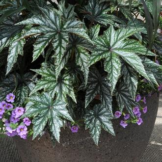 Begonia Gryphon Plants