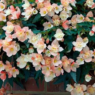 Begonia Truffle Cream Flower Plants