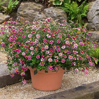 Bidens Firelight Flower Plants