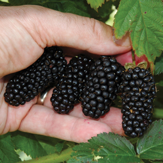 Blackberry Black Butte Plant