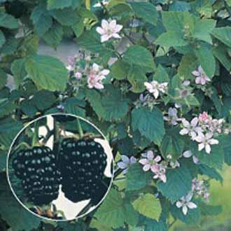 Blackberry Chester Plant