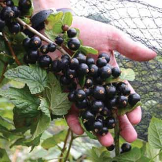 Blackcurrant Big Ben Plant