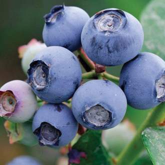 Blueberry Draper Plant