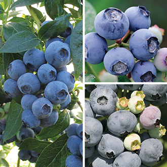 Season Long Blueberry Fruit Plant Collection