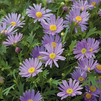 Brachyscome Brasco Violet Flower Plants