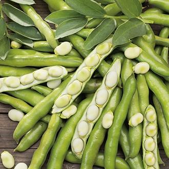 Broad Bean Bunyards Exhibition Veg Plants