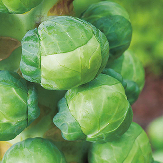 Brussels Sprout Attwood F1 Veg Plants