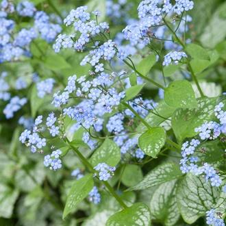Brunnera Jack Frost Flower Plant