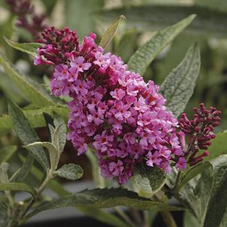 Buddleja Buzz Candy Pink Flower Plants