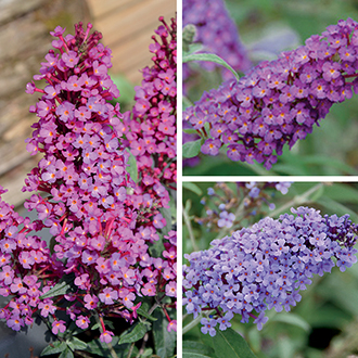Buddleja Buzz Plant Collection