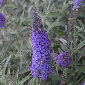 Buddleja Monarch Blue Knight plants
