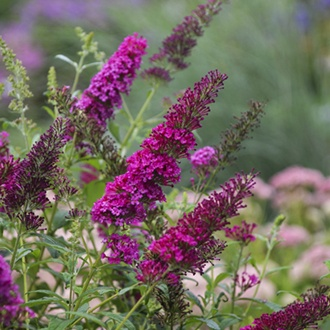 Buddleja Monarch Queen of Hearts plants