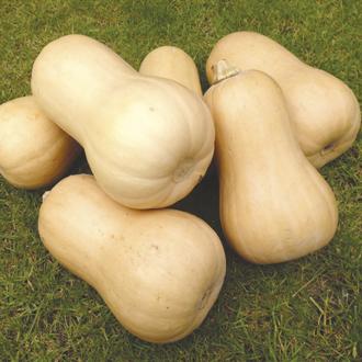 Squash Butternut Walnut F1 Plants