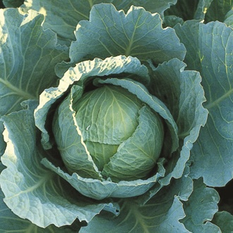 Cabbage Tundra F1 AGM Plants