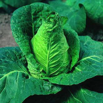 Cabbage Advantage Plants