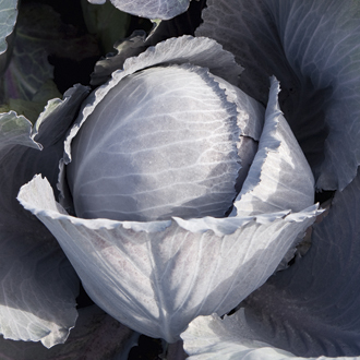 Cabbage Lodero F1 Plants