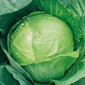 Cabbage Mozart F1 Veg Plants