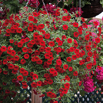 Calibrachoa Cabaret Flower Plant Collection