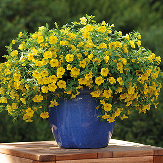 Calibrachoa Cabaret Deep Yellow Flower Plants