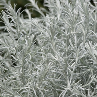 Calocephalus Silver Cushion Plants
